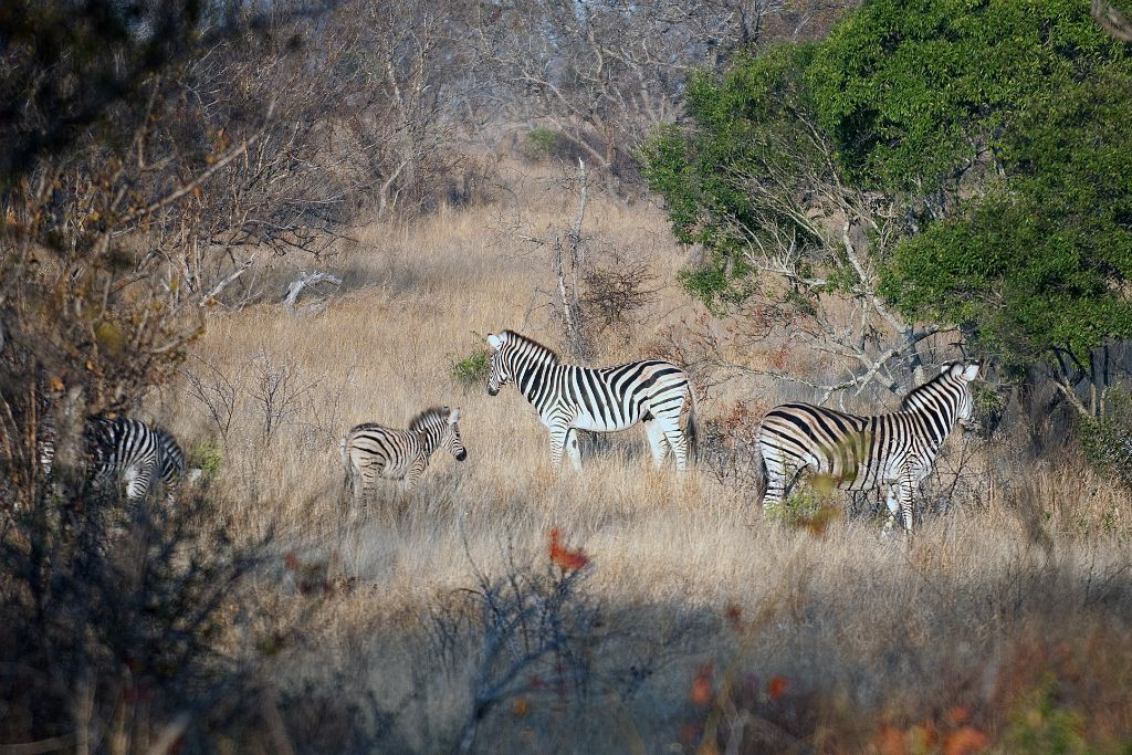 Kruger National Park, cebras